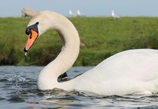 Mute Swan close up Stock Photo