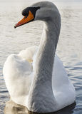White Swan Close Up Royalty Free Stock Photos
