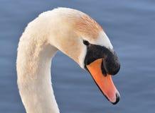 Mute Swan Close Up Stock Photo