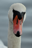 Mute swan. Closeup image of swan head Royalty Free Stock Images