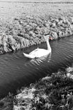 Mute Swan in a cold dutch ditch Royalty Free Stock Photos
