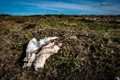 Mute swan corpse Royalty Free Stock Images