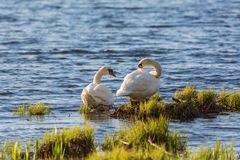Mute swan couple Royalty Free Stock Image