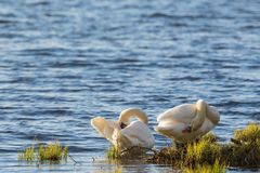 Mute swan couple Stock Photos