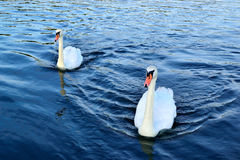 Mute swan couple on the water Stock Photos