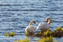 Mute swan couple at the waters edge Royalty Free Stock Photography
