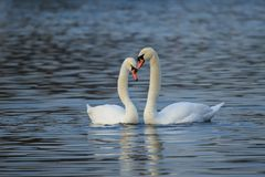 A mute swan courtship routine royalty free stock images