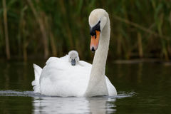 Mute Swan with cygnet. An adult Swan carries her young cygnet on her back for faster travelling and protection Stock Image