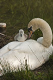 Mute swan cygnet climbing on mothers back Stock Photography
