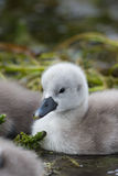 Mute Swan cygnet close up on the water Stock Images