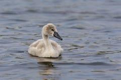 Mute Swan cygnet Stock Photos