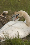 Mute swan with cygnet Royalty Free Stock Photos