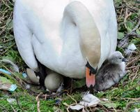 Mute swan, cygnet, and hatching egg. A mother swan with a newly hatched cygnet and hatching egg just visible, alone with broken shell from hatched egg Stock Images
