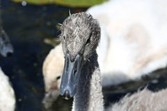 Mute swan cygnet Stock Images
