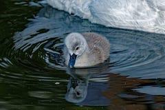 Mute Swan Cygnet Reflecting Royalty Free Stock Photos