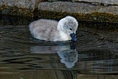 Mute Swan Cygnet Reflecting Royalty Free Stock Image