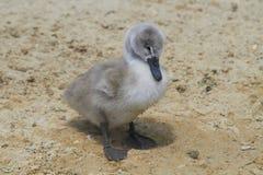 Mute Swan. Cygnet on a sandy ground stock photos