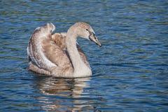 Mute Swan Cygnet Royalty Free Stock Photo
