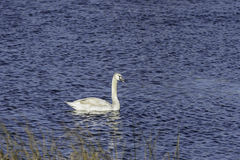 Mute swan cygnet vocalizing Stock Images