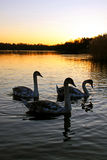 Mute swan cygnets Stock Image