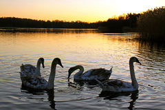 Mute swan cygnets Stock Images
