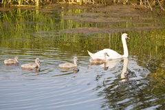Mute swan and cygnets. A mute swan cygnus olor with four cygnets on a pond in summer Royalty Free Stock Photography