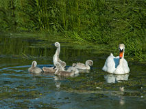 Mute Swan and Cygnets royalty free stock images