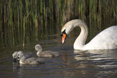 Mute Swan with cygnets. Family of Mute Swans (Cygnus Olor) on lake all looking in one direction Royalty Free Stock Photo