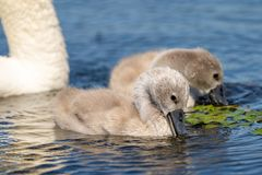 Mute Swan Cygnets closeup in Danube Delta. Wildlife birds and birdwatching photography and a common sighting for tourists in the Danube Delta, Eastern Europe royalty free stock images