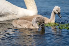Mute Swan Cygnets closeup in Danube Delta. Wildlife birds and birdwatching photography and a common sighting for tourists in the Danube Delta, Eastern Europe royalty free stock photo