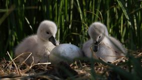 Mute Swan Cygnets And Egg On Nest royalty free stock photo