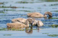 Mute Swan cygnets feeding in the water in Danube Delta. Wildlife birds and birdwatching photography and a common sighting for tourists in the Danube Delta royalty free stock photos