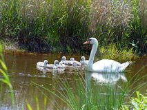 Mute Swan and Cygnets Royalty Free Stock Photography
