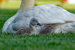 Mute Swan Cygnets Getting Tucked In Royalty Free Stock Photos