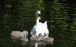 Mute Swan with Cygnets. Mute Swan with cute cygnets spotted in St James Park, London stock photos