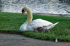 Mute Swan with Cygnets Royalty Free Stock Image