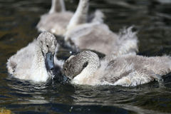 Mute swan cygnets Royalty Free Stock Photography