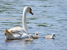 Mute Swan and Cygnets Stock Photos