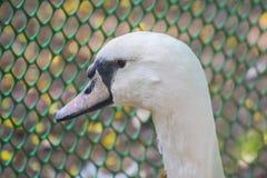 Mute Swan Face Beak Eyes. Mute Swan Cygnus cygnus Closeup Face Beak Eyes stock photography