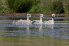 Mute swan, Cygnus olo Stock Images