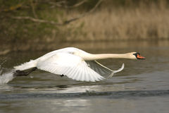 Mute swan / Cygnus olor Royalty Free Stock Images