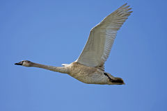Mute swan / Cygnus olor Royalty Free Stock Photography