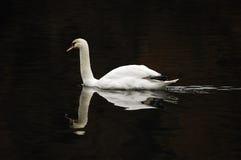 Free Mute Swan (Cygnus Olor) Stock Photos - 12237273