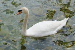 Mute Swan (Cygnus olor) Royalty Free Stock Image