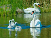 Mute swan (Cygnus olor) Stock Photo