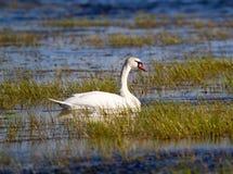 Mute Swan, Cygnus olor Stock Images