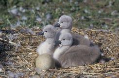 Mute Swan, Cygnus Olor Royalty Free Stock Images