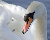 Mute swan Cygnus olor. A portrait of a mute swan at linlithgow loch scotland Royalty Free Stock Images