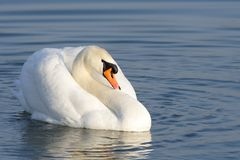 Mute swan - cygnus olor Stock Photography