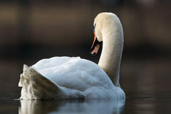 Mute swan - Cygnus olor Stock Photos